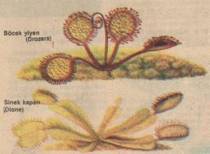 Böcekyiyen bitkiler
